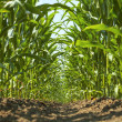 Inside a young corn field. — Stock Photo #49587245