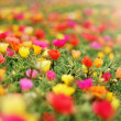 Colorful flower field — Stock Photo