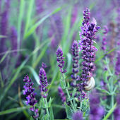 Lavender flower and snail shell closeup — Stock Photo
