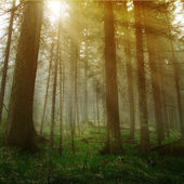 Sunshine in the dark forest — Stock Photo