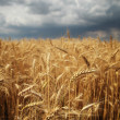 Beautiful golden wheat field on a stormy day — Stock Photo