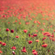 Stock Photo: Red poppy field background