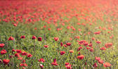 Red poppy field background — Stock Photo