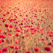 Poppy field closeup — Stock Photo