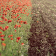 Stock Photo: Poppy field near cultivated land