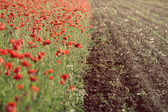 Poppy field near cultivated land — Stock Photo