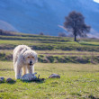 Romanian shepherd dog in the Transylvanian mountains — Stock Photo