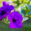 Violet blooms in morning — Stock Photo #13591902