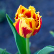 Stock Photo: Delicate tulip