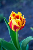 Delicate tulip — Stock Photo