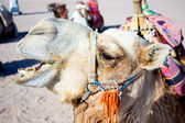 Camel Egypt — Stock Photo