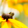 A bee drinking nectar on the yellow flower — Stok fotoğraf