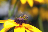 A bee drinking nectar on the yellow flower — Stock Photo