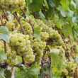 Chardonnay grapes on vine — Stok fotoğraf