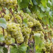 图库照片: Chardonnay grapes on vine