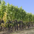 Graceful grapevines — Stock Photo #13867755