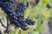 Pinot Noir grapes — Stock Photo