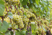 Chardonnay grapes on vine — Stock Photo