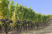 Graceful grapevines — Stock Photo