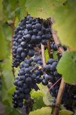 Pinot noir grapes vignette — Stock Photo