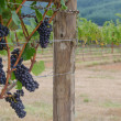 Постер, плакат: Pinot Noir clusters with vineyard backgrouind