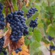 Pinot Noir grape clusters — Stock Photo