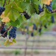 Stock Photo: Pinot Noir grape border