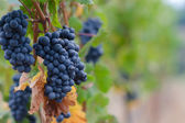 Pinot Noir grape background — Stock Photo