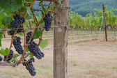 Pinot Noir clusters with vineyard backgrouind — Stock Photo