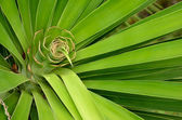 A palm's rosette center — Stock Photo