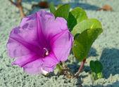 Purple railroad vine — Stock Photo