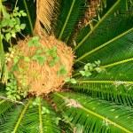 Sago palm pod — Stock Photo #12858816