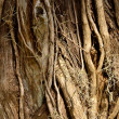 Stock Photo: Tiwsted woody vines