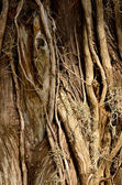 Tiwsted woody vines — Stock Photo