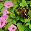 Butterfly in Morning Glory Vine — Stock Photo #13342875