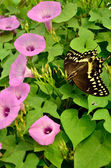 Butterfly in Morning Glory Vine — Stock Photo