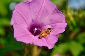 蜜蜂对牵牛花 — 图库照片