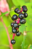Chokeberry plant — Stock Photo