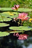 Pink water lilies and reflections — Stock Photo