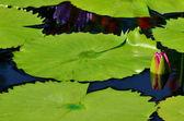 Budding water lily — Stock Photo
