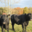 Cattle in the pasture — Photo