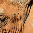 Elephant eyelashes - Stock Photo