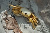 Fiddler crab takes refuge in driftwood's shade — Stock Photo
