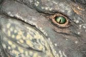 A reptile's green watchful eye — Stockfoto