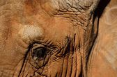 Pachyderm eye contact — Stock Photo