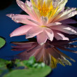 Reflection of a pink water lily — Foto Stock