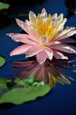 Reflection of a pink water lily — Stock Photo