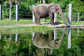Pachyderm reflection — Stock Photo