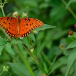 Orange butterfly in white daisy thicket — Stock Photo