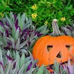 Orange pumpkin in purple plants — Stock Photo